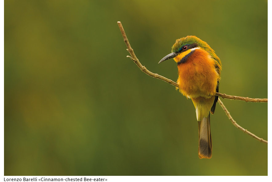 03_Belp Barelli Bee-eater 880